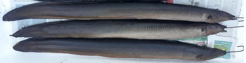Geräucherter Aal 600 g